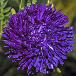 Астра Вайолеттер фиолетовая, пионовидная