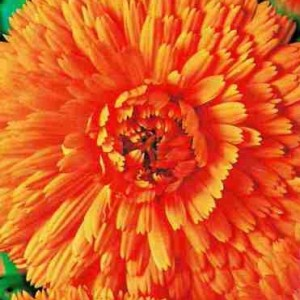 Календула Оранжевые шары