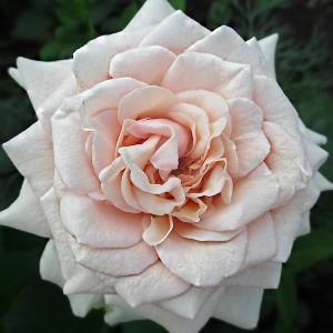 Роза штамбовая Лакре