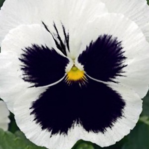 Виола Силбербрау крупноцветковая