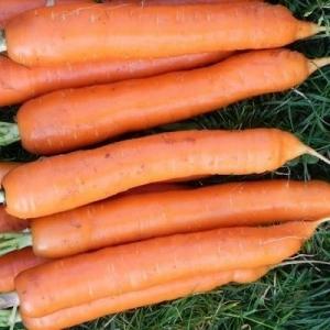 Морковь Тушон столовая