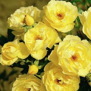 Роза Зоннершим