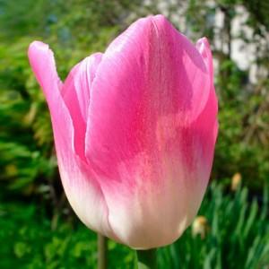 Тюльпан Династия