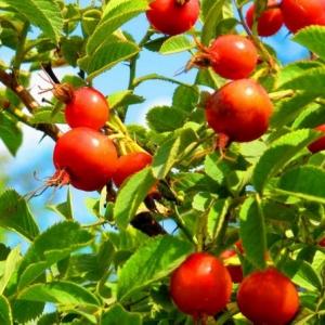 Шиповник Яблочный