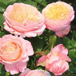 Роза Домен де Шантильи
