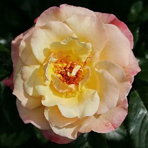 Роза Мунлайт KORDES