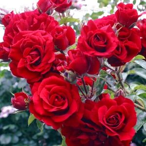 Роза Амадеус