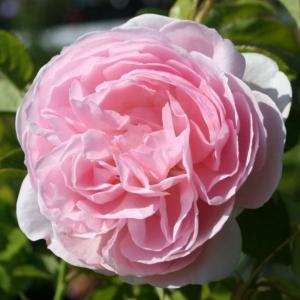 Роза Херитидж