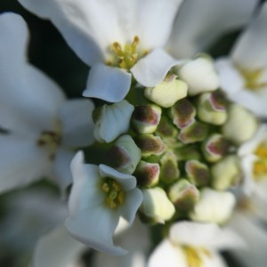 Иберис амара белый
