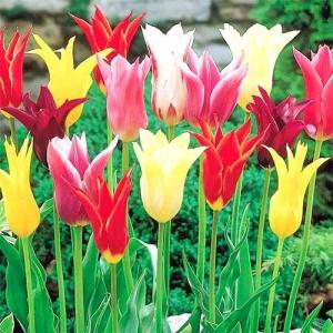 Тюльпаны лилиецветные, смесь