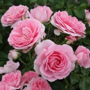Роза Розенфи