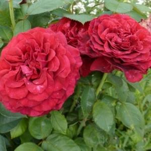 Роза Ля Роз де Катрэ Вен
