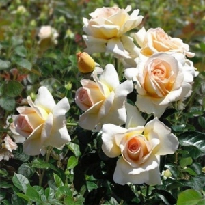 Роза Жан-Пьер Фуко