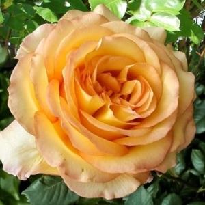 Роза Роуз де Монт Марсан штамбовая
