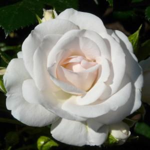Роза Аспирин Роуз TANTAU