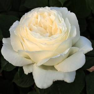 Роза Жанна Моро MEILLAND