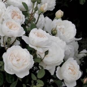 Роза Уайт Мейдиланд