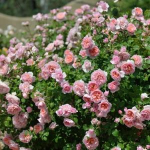 Роза Дам де Шенонсо