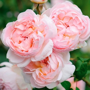Роза штамбовая Шарифа Асма