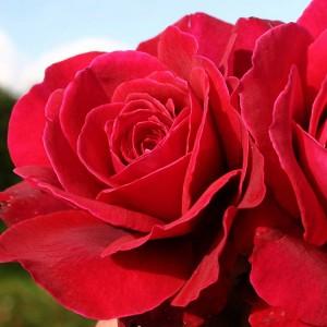 Роза Беллевью KORDES