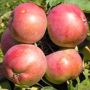 Яблоня зимняя Белорусское сладкое