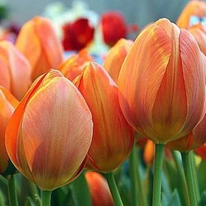 Тюльпан Орания