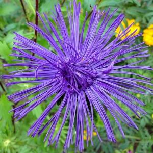 Астра Харц Парцифаль тонкоигольчая темно-фиолетовая