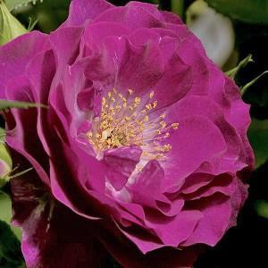 Роза штамбовая Блю Эден