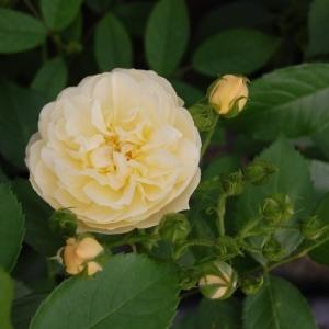 Роза Ля Фейлери