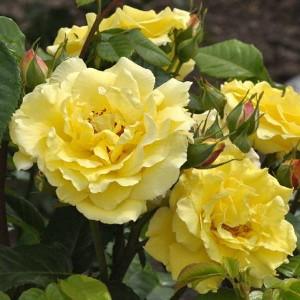 Роза Люция