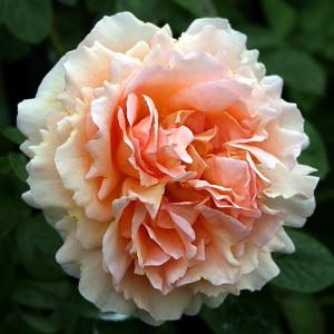 Роза Полька MEILLAND