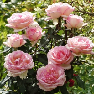 Роза Сувенир де Баден-Баден