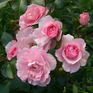 Роза штамбовая Боника