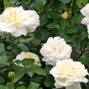 Роза Ла Перла