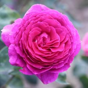 Роза штамбовая Биг Перпл