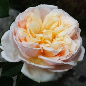 Роза Александрин