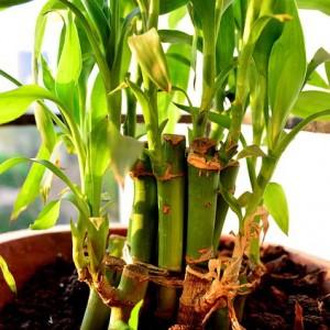 Zimmerpflanzen Bambus Katalog Sorten Samen Zimmerpflanzen Bambus