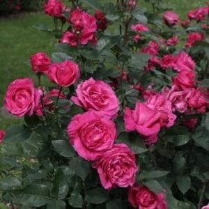 Роза Венроза