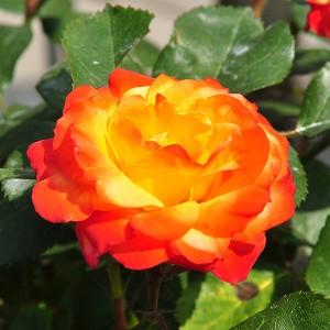 Роза штамбовая Румба
