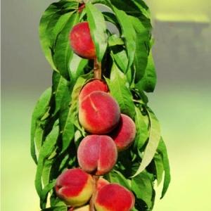 Персик Медовый (узкопирамидальный)
