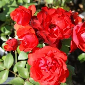 Роза Сатчмо