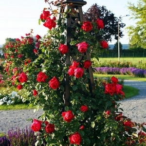 Роза Флорентина