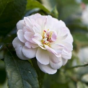 Роза Франсин Остин