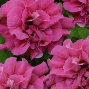 Петуния Дуо розовый F1 многоцв. (серия Элитная клумба)