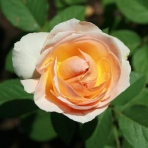 Роза Женевьев Орси