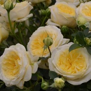 Роза Патрициа Кент