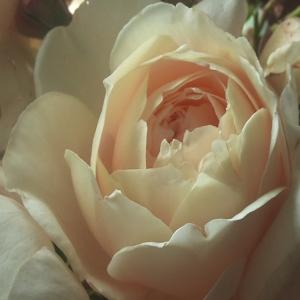 Роза Глиндебурн