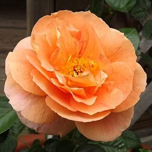 Роза Шоне вом Си KORDES