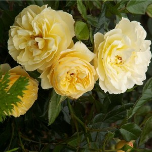 Роза Зоннеширм