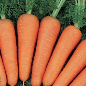 Морковь гранулир. Шантенэ Роял